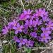 Primula angustifolia - Photo (c) hbexplore, μερικά δικαιώματα διατηρούνται (CC BY-NC)