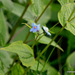 Hackelia uncinata - Photo (c) Chief RedEarth, algunos derechos reservados (CC BY-NC-ND)