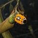 Runibia decorata - Photo (c) Martin Acosta, μερικά δικαιώματα διατηρούνται (CC BY-NC)