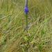 Veronica orchidea - Photo (c) Ioana Mita, μερικά δικαιώματα διατηρούνται (CC BY-NC)