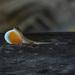 Abaniquillo Pañuelo del Pacífico - Photo (c) tamarindo1, algunos derechos reservados (CC BY-NC)