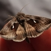Celery Looper Moth - Photo (c) Colin Croft, some rights reserved (CC BY)