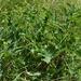 Crambe tataria - Photo (c) bologaalexandru, alguns direitos reservados (CC BY-NC)