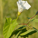 Hedge Bindweed - Photo (c) Ivar Leidus, some rights reserved (CC BY-SA)