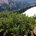 Salix glauca - Photo (c) Rosemary J. Smith, algunos derechos reservados (CC BY-NC)