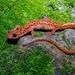 Salamandra de Cola Manchada - Photo (c) Phil Chaon, algunos derechos reservados (CC BY-NC)