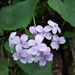 Lunaria rediviva - Photo (c) Мольдон Иван, algunos derechos reservados (CC BY-NC)