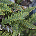 Lace Lip Fern - Photo (c) kueda, some rights reserved (CC BY), uploaded by Ken-ichi Ueda