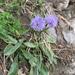 Globularia nudicaulis - Photo (c) chelsl,  זכויות יוצרים חלקיות (CC BY-NC)