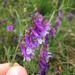 Vicia villosa varia - Photo (c) Corey Lange, algunos derechos reservados (CC BY-NC)