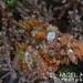Scorpaenopsis papuensis - Photo (c) Nigel Marsh, alguns direitos reservados (CC BY-NC)