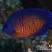 Dwarf Angelfishes - Photo (c) Nigel Marsh, some rights reserved (CC BY-NC)