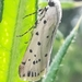 Myelois circumvoluta - Photo (c) pour, alguns direitos reservados (CC BY-NC)