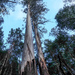 Eucalyptus regnans - Photo (c) Tindo2,  זכויות יוצרים חלקיות (CC BY-NC)