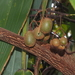 Actinidia - Photo (c) Eugene Popov, some rights reserved (CC BY)