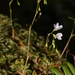 Small-leaved Blinks - Photo (c) Walter Siegmund, some rights reserved (CC BY-SA)