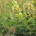 Astragalus cicer - Photo (c) HermannFalkner/sokol, algunos derechos reservados (CC BY-NC-SA)