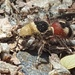 Dasymutilla sicheliana - Photo (c) FRANCISCO MIGUEL FARRIOLS ESTRADA, algunos derechos reservados (CC BY-NC)