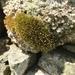 Ptychomitrium polyphyllum - Photo (c) andrewmelton, algunos derechos reservados (CC BY-NC)
