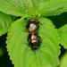 Lamprocoris roylii - Photo (c) Chief RedEarth, μερικά δικαιώματα διατηρούνται (CC BY-NC-ND)