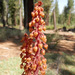 Woodland Pinedrops - Photo (c) 101595408250610106310, some rights reserved (CC BY), uploaded by Justin