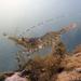 Camarón de Muelle - Photo (c) Karolle Wall, algunos derechos reservados (CC BY-NC)