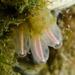 Clavelinidae - Photo (c) Ken-ichi Ueda, alguns direitos reservados (CC BY)