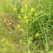 Hoary Yellowcress - Photo (c) Jason Grant, some rights reserved (CC BY)