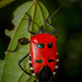 Catacanthus incarnatus - Photo (c) Anil Kumar Verma,  זכויות יוצרים חלקיות (CC BY-NC)