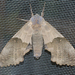 Modest Sphinx - Photo (c) Susan Elliott, some rights reserved (CC BY-NC)