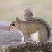Esquilo-Cinzento-Oriental - Photo (c) severinus, alguns direitos reservados (CC BY-NC)