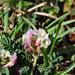 Astragalus depressus - Photo (c) Emanuele Santarelli, alguns direitos reservados (CC BY-SA)