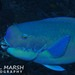 Steephead Parrotfish - Photo (c) Nigel Marsh, some rights reserved (CC BY-NC)