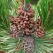 Pinus contorta contorta - Photo (c) janices, algunos derechos reservados (CC BY-NC)