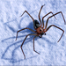 Brown Recluse - Photo (c) rmorgan, some rights reserved (CC BY-NC), uploaded by Rebecca