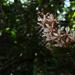 Humboldtia brunonis - Photo (c) Siddarth Machado, some rights reserved (CC BY-NC)