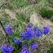 Pulmonaria australis - Photo (c) cjcjcj, algunos derechos reservados (CC BY-NC)