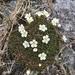 Diapensia - Photo (c) mswartl1, some rights reserved (CC BY-NC)