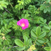 Rugosa Rose - Photo (c) mthester, some rights reserved (CC BY-NC)