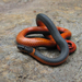 Coralbelly Ringneck Snake - Photo (c) randomtruth, some rights reserved (CC BY-NC-SA)
