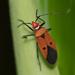 Dysdercus cingulatus - Photo (c) Liu JimFood, algunos derechos reservados (CC BY-NC)