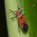 Indian Cotton Stainer - Photo (c) Liu JimFood, some rights reserved (CC BY-NC)