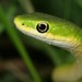 Rough Greensnake - Photo (c) Patrick Coin, some rights reserved (CC BY-NC-SA)