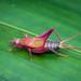 Grylloidea - Photo (c) Damien Brouste, algunos derechos reservados (CC BY-NC)