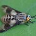 Tabanidae - Photo (c) Vladimir Bryukhov, μερικά δικαιώματα διατηρούνται (CC BY-NC)