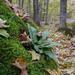Asplenium scolopendrium americanum - Photo Linda Swartz, sin restricciones conocidas de derechos (dominio publico)