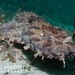 Ornate Wobbegong - Photo (c) Nigel Marsh, some rights reserved (CC BY-NC)