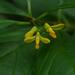 Polygala arillata - Photo (c) siddarthmachado, algunos derechos reservados (CC BY-NC)