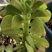 Peperomia dolabriformis - Photo (c) Sydney, alguns direitos reservados (CC BY-NC)