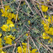 Chamaecytisus - Photo (c) Tassos Sakoulis, some rights reserved (CC BY-NC)